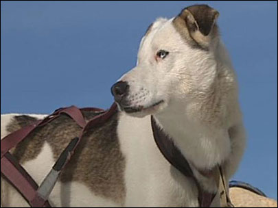 Sled dog racing: 'If you do tip over, you've got to hang on'