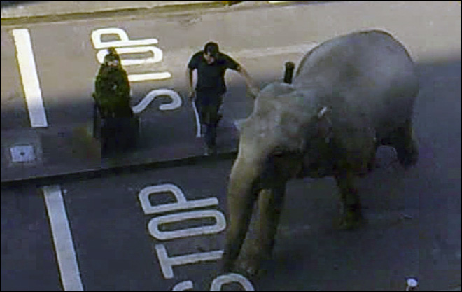 Elephant escapes circus, runs through Irish town