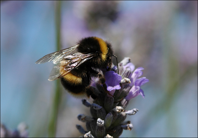 Latest buzz on bee decline: Maybe it's pesticides