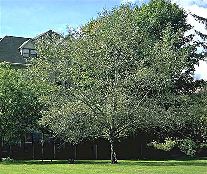 OSU's Trysting Tree to be named a state Heritage Tree