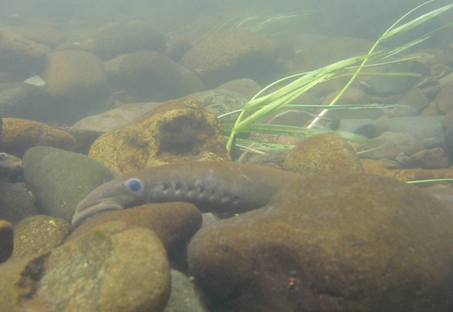Nez Perce Tribe releases lamprey in Wallowa River