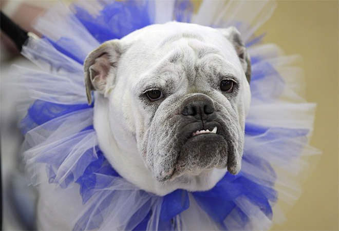 APTOPIX Beautiful Bulldog