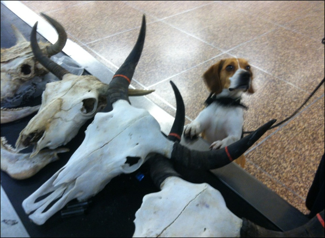 Putting Tibetan yak skulls in your luggage apparently a no-no