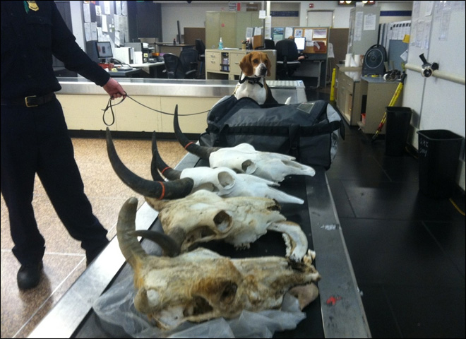 120510_yak_skulls_04_660