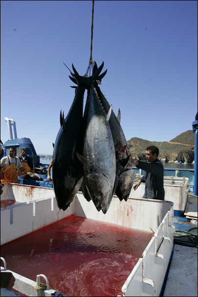 Radioactive bluefin tuna crossed the Pacific to U.S.