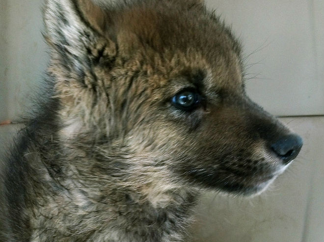 Wolf pup discovered by campers heading to Busch Gardens