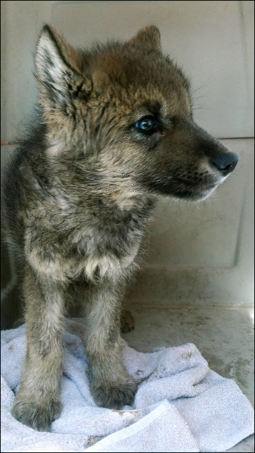 Possible lost wolf pup being cared for at Zoo Boise