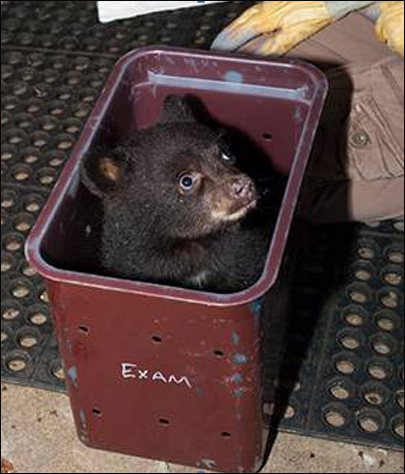 Orphan bear cub could be returned to the wild next spring