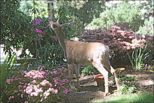 Ashland mayor: 'We have a deer problem'
