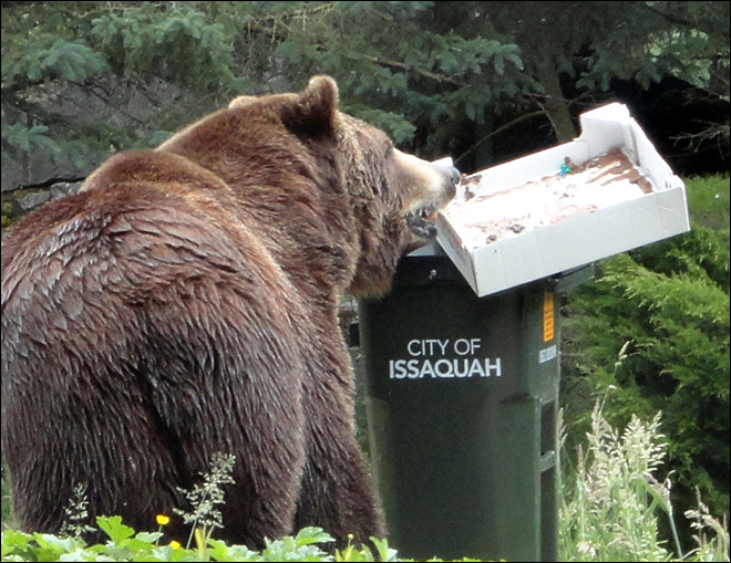 Grizzly bears in zoo test new garbage bins