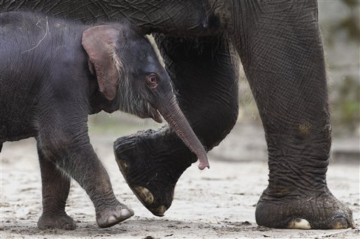 Germany Elephant Calf