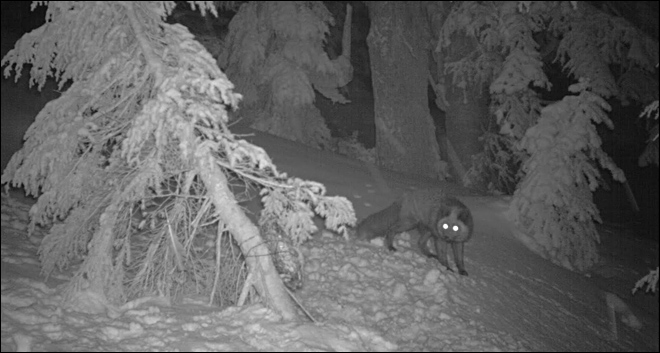 Are these pictures of a rare red fox on Mount Hood?