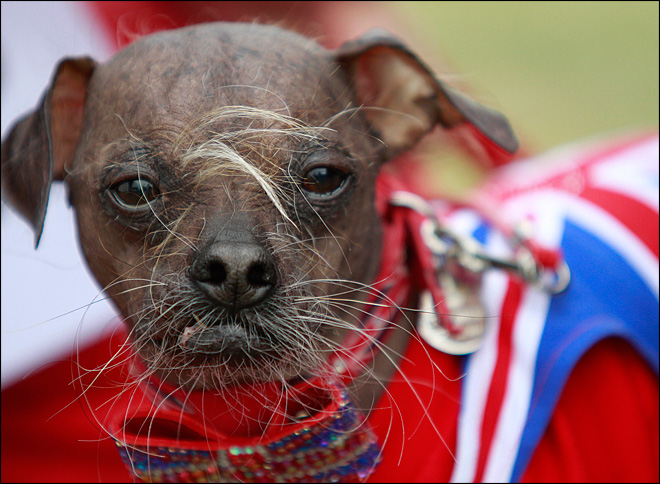 8-year-old 'Mugly' wins World's Ugliest Dog title