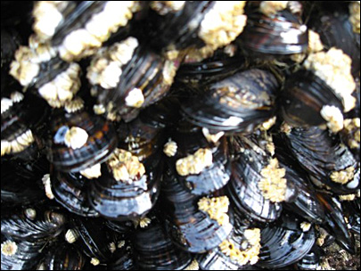 Shellfish toxins stop mussel harvesting on Oregon Coast