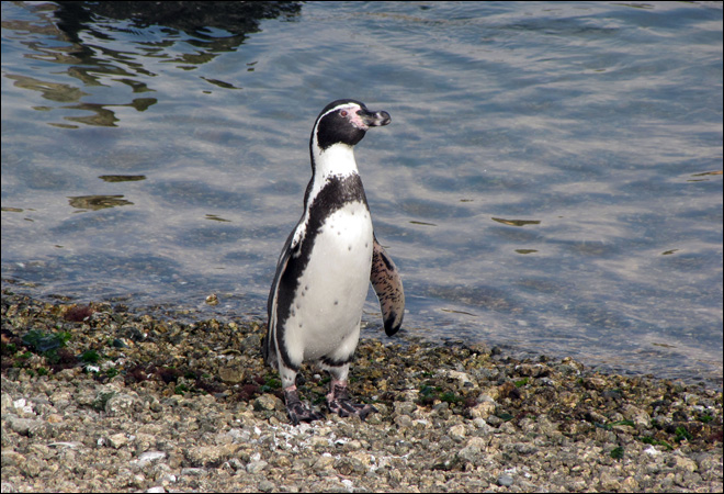 Rats vs. penguins on contested Chilean island