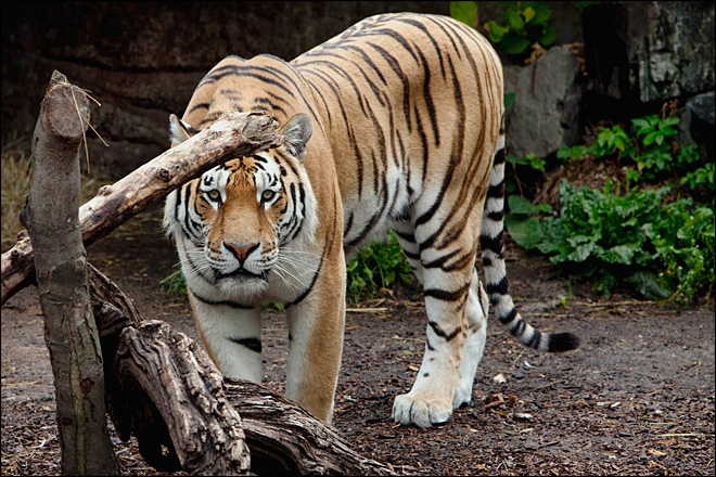 Tigers maul man to death at Copenhagen Zoo
