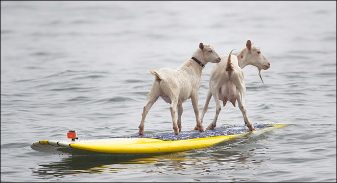 Surfing goats ride the waves in Southern Calif.
