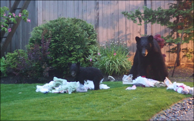 Town on edge over 'problem bears'