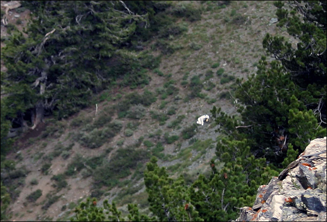 &#39;Goat man&#39; spotted in mountains of Utah