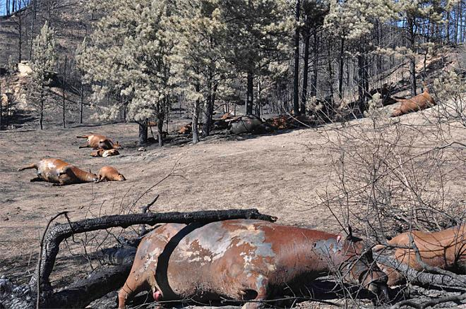 Western Wildfires-Cattle