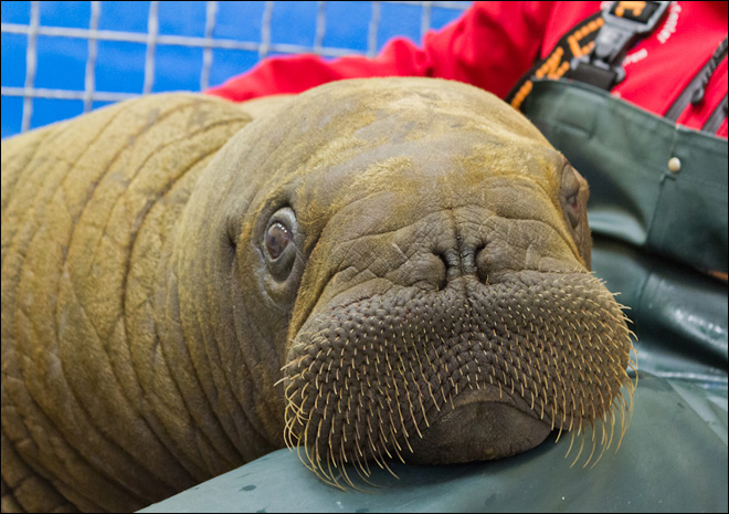Stranded walrus calf rescued from Alaska lagoon