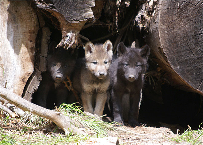 Wenaha wolf pups