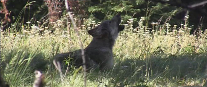 Video: Snake River pack answers Oregon wolf pup&#39;s howls 