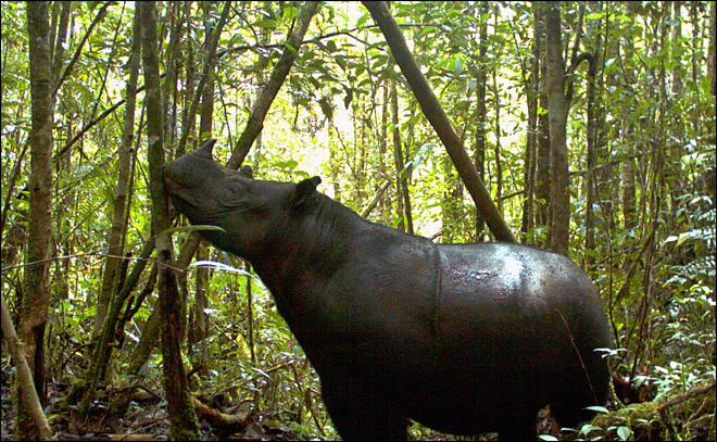 World's rarest rhinos spotted in Indonesia