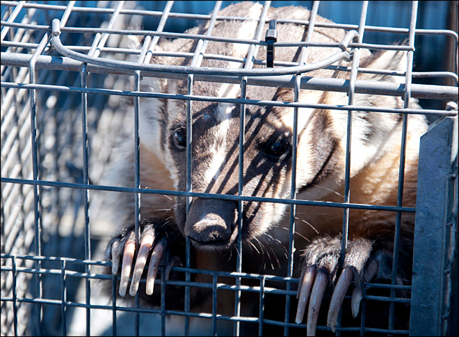 Brave badger dodges dart, then caged inside Nevada store