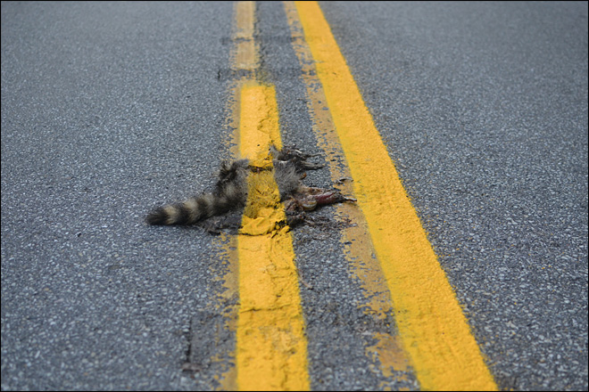 Road crew paints yellow line over dead raccoon
