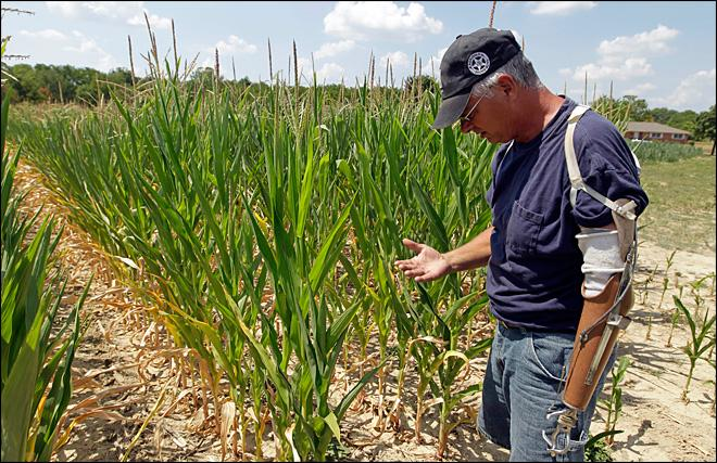 USDA cuts corn outlook as drought takes toll