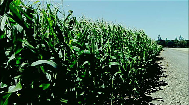 Dairy turns to own corn crop as Midwest drought drives up prices