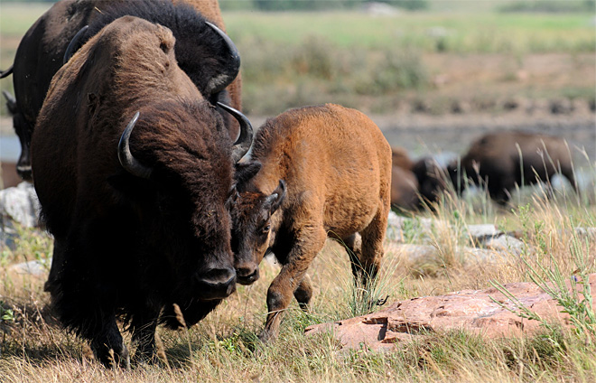 Exchange Buffalo Bloodline
