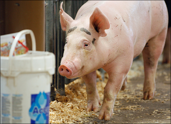 NYC fair nixes pig races and goes to the dogs