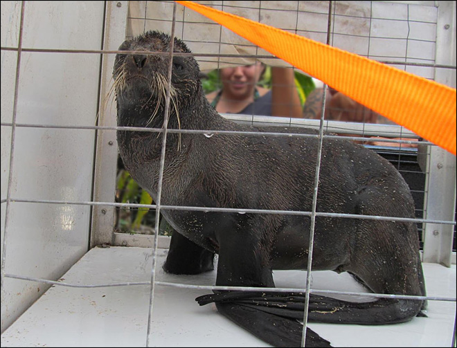 Lost northern fur seal shows up on Hawaii beach