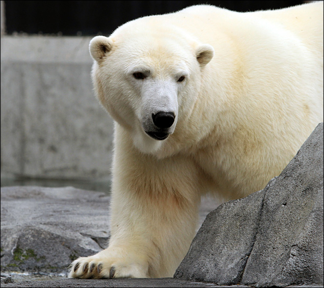 Polar bear, wolf vie to be Alaska Zoo 'president'