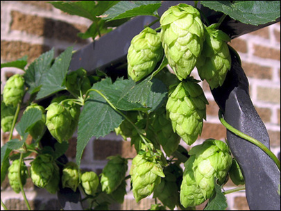 Could freezing hops lead to tastier beer?