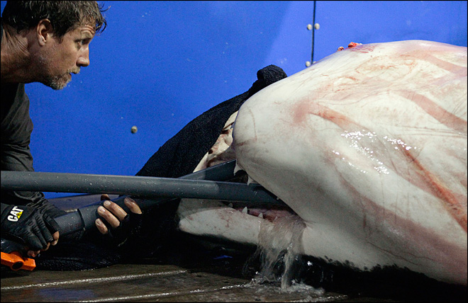 Researchers get up close and personal with great white sharks