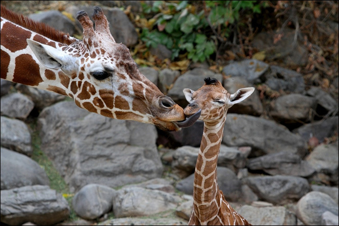 Baby giraffe greets visitors at Utah's Hogle Zoo