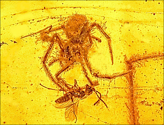Spider attack on wasp 100 million years ago frozen in time