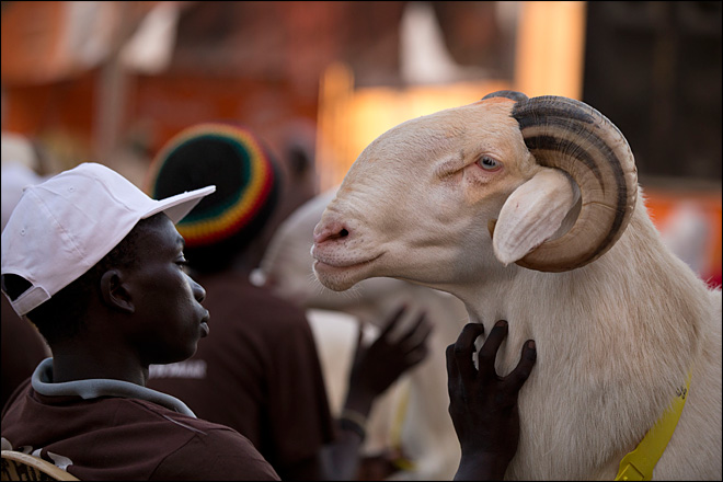 Senegal reality TV show features prettiest sheep