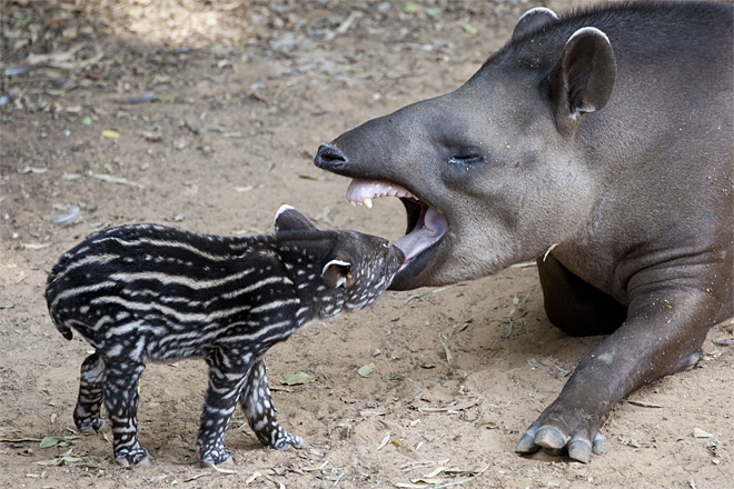 APTOPIX Mideast Israel Tapir