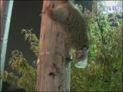 Poor raccoon gets jar stuck on its head