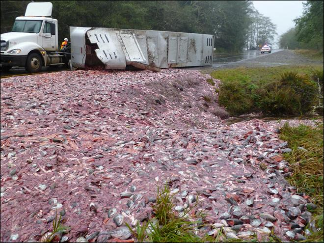 Spilled load of fish guts blocks Hwy 101