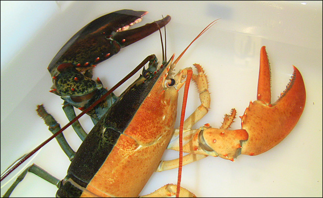 Lobster caught in Massachusetts is ready for Halloween