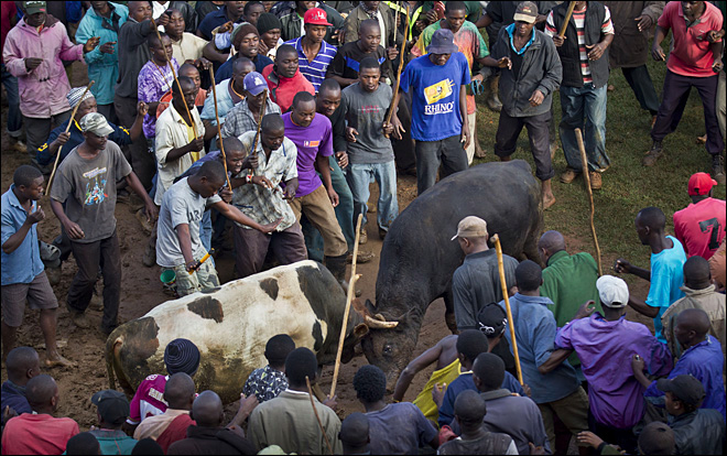 Kenya bull fight: Obama trounces Romney