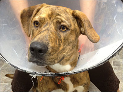 Bloody dog abandoned at grocery store after botched neutering