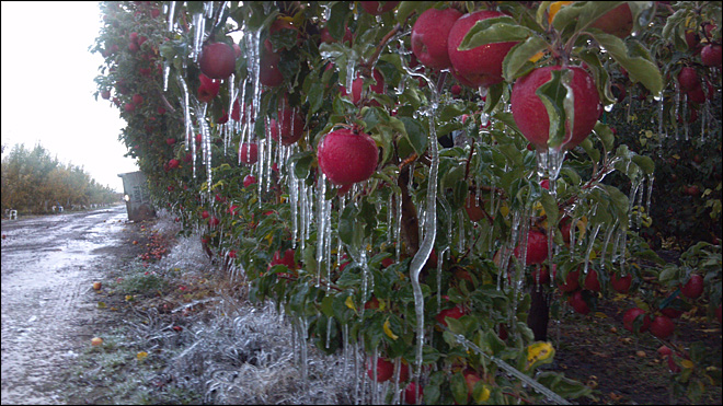 Iced-over apple orchard in Yakima