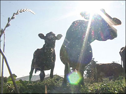Happy cows: 'Get them on grass, off concrete'