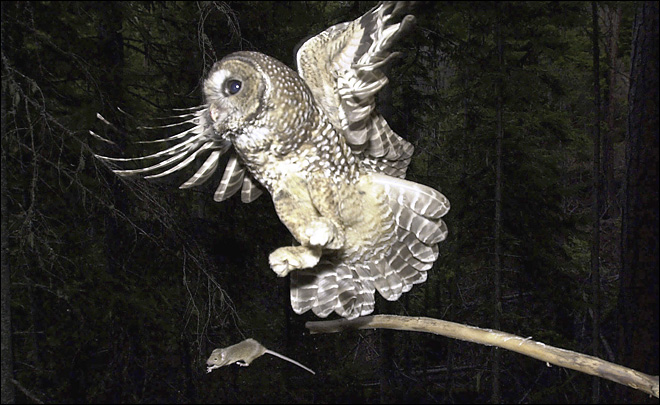 Obama administration aims to double habitat for spotted owl